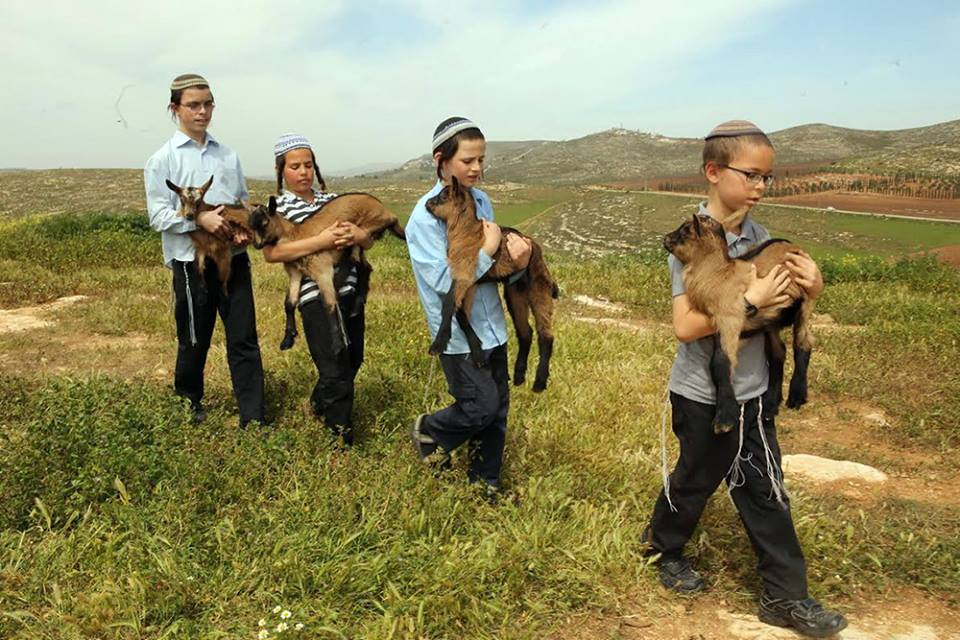 Children bringing the lambs to be inspected. (Photo: The Temple Institute)