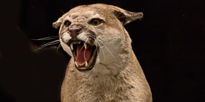 Cougar. (Photo: Graphic Stock)