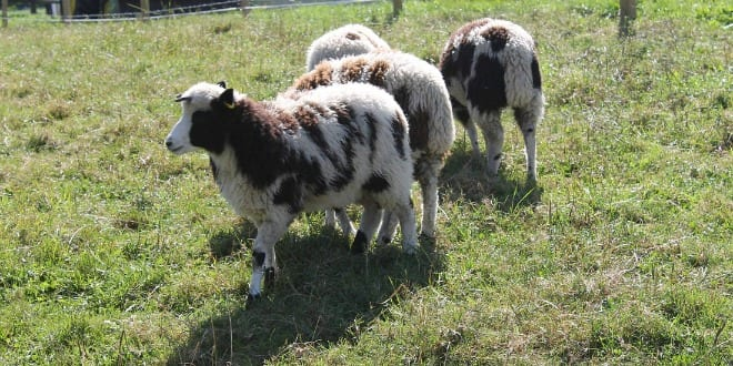Some of the Jacob's sheep on the grass in Canada, awaiting return to Israel. (Photo: Friends of the Jacobs Sheep website)