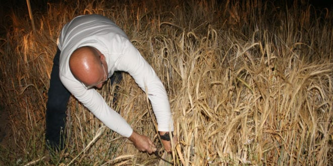 A man harvests the omer grains in the field. (Photo: Adam Propp)
