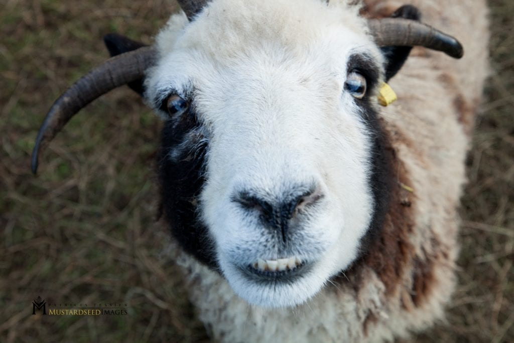 A sheep named Rachel is part of the flock of Jacob's sheep. (Photo: Courtesy of Gil and Jenna Lewinsky)